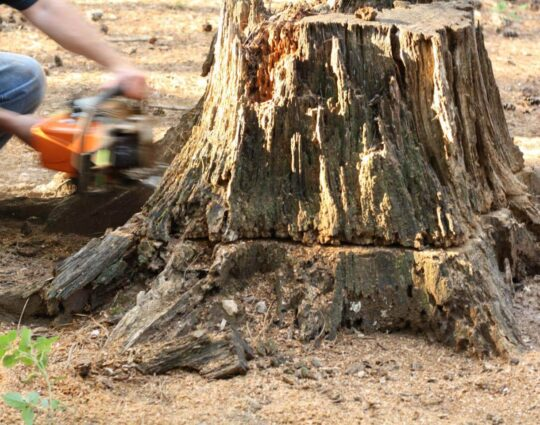 Stump Removal-Lexington Tree Trimming and Stump Grinding Services-We Offer Tree Trimming Services, Tree Removal, Tree Pruning, Tree Cutting, Residential and Commercial Tree Trimming Services, Storm Damage, Emergency Tree Removal, Land Clearing, Tree Companies, Tree Care Service, Stump Grinding, and we're the Best Tree Trimming Company Near You Guaranteed!
