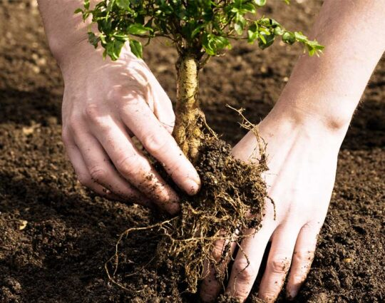 Tree Planting-Lexington Tree Trimming and Stump Grinding Services-We Offer Tree Trimming Services, Tree Removal, Tree Pruning, Tree Cutting, Residential and Commercial Tree Trimming Services, Storm Damage, Emergency Tree Removal, Land Clearing, Tree Companies, Tree Care Service, Stump Grinding, and we're the Best Tree Trimming Company Near You Guaranteed!